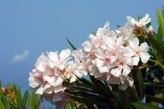 Biali kwiaty nerium oleander Fotografia Royalty Free