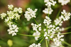 Biali kwiaty parasolowe rośliny, kwitnie w wiośnie obrazy stock