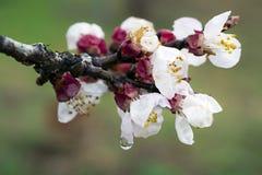 Biali kwiaty po burzy Fotografia Royalty Free
