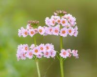 Biali kwiaty Primula kandelabry Fotografia Royalty Free