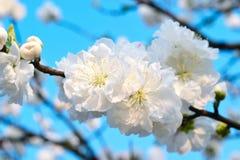 Biali kwiaty przeciw niebieskim niebom Zdjęcie Royalty Free