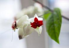 Biali kwiaty rośliny nazwany clerodendrum Obraz Royalty Free