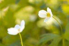 Biali kwiaty są anemonowi Piękny artystyczny wizerunek miękkie ogniska, obrazy stock