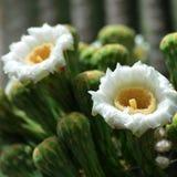 Biali kwiaty Saguaro kaktus Obraz Stock