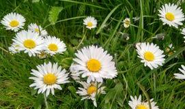 Biali kwiaty stokrotki Obrazy Stock