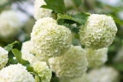 Biali kwiaty viburnum śnieżna piłka w wiośnie uprawiają ogródek Guelder ro Zdjęcia Stock