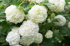 Biali kwiaty viburnum śnieżna piłka w wiośnie uprawiają ogródek Guelder ro Obraz Stock