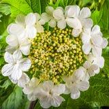 Biali kwiaty viburnum, zakończenie Zdjęcie Stock