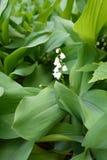 Biali kwiaty w leafage leluja dolina obrazy royalty free