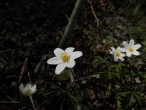 Biali kwiaty w lesie Fotografia Royalty Free