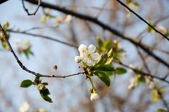 Biali kwiaty w makro- Kwiatono?ni drzewa Pszczo?a na bia?ym kwiacie zdjęcia stock