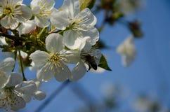 Biali kwiaty w makro- Kwiatono?ni drzewa Pszczo?a na bia?ym kwiacie zdjęcie stock