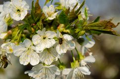 Biali kwiaty w makro- Kwiatono?ni drzewa Pszczo?a na bia?ym kwiacie obrazy stock