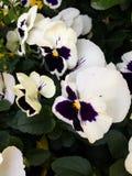 Biali kwiaty w ogródzie fotografia royalty free