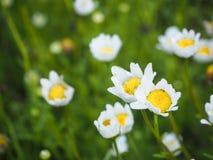 Biali kwiaty w ogródzie Obraz Royalty Free