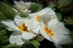 Biali kwiaty w ogródzie Zdjęcie Stock