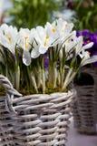 Biali kwiaty w łozinowym garnku Obraz Royalty Free