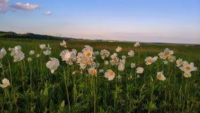 Biali kwiaty w polu fotografia stock