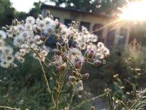 Biali kwiaty w słońce połysku Obraz Stock