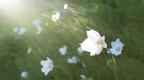 Biali kwiaty w słońcu na zielonej haliźnie Zdjęcie Royalty Free
