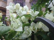 Biali kwiaty w wczesnym poranku Obraz Royalty Free