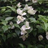 Biali kwiaty w wczesnym poranku Zdjęcia Stock