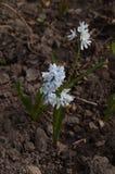 Biali kwiaty w ziemi Fotografia Royalty Free