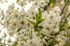 Biali kwiaty wiśni i potomstw liście zdjęcia stock