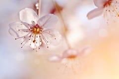 Biali kwiaty wiśnia Obrazy Royalty Free