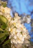 Biali kwiaty wiosny drzewo Zdjęcie Royalty Free
