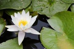 Biali kwiaty wodne leluje Obrazy Royalty Free
