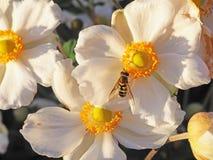 Biali kwiaty z Żółtymi centrami i pszczołą Zdjęcie Royalty Free