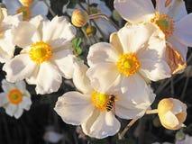 Biali kwiaty z Żółtymi centrami i pszczołą Obrazy Stock