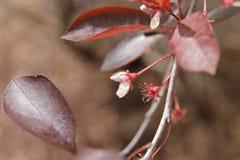 Biali kwiaty z głębokim - czerwień liście Obrazy Royalty Free