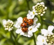 Biali kwiaty z ladybirds Zdjęcie Royalty Free