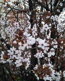 Biali kwiaty z szarymi gałąź obrazy stock