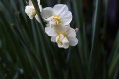 Biali kwiaty z zieleni gałąź zdjęcie stock