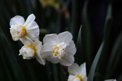 Biali kwiaty z zieleni gałąź obraz royalty free