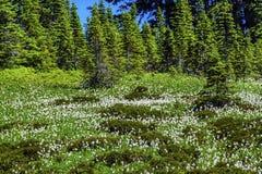 Biali Lawinowych leluj Wildflowers Wspinają się Dżdżystego raj Fotografia Royalty Free