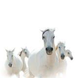 Biali lipizzian konie Fotografia Royalty Free