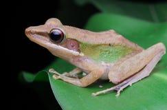 Biali lipped żaba wizerunki zdjęcia stock