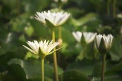 Biali lotosowi kwiaty kwitną w stawie przy ranku parkiem fotografia royalty free