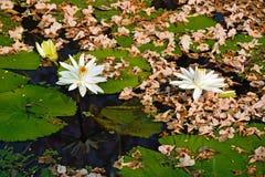 Biali lotosowi kwiaty z suchym kwiatu tłem Zdjęcia Stock