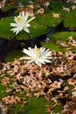 Biali lotosowi kwiaty z suchym kwiatu tłem Fotografia Royalty Free