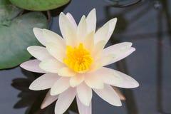 Biali lotosy Fotografia Royalty Free