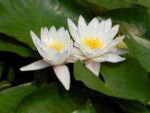 Biali lotosy w Tsinghua uniwersytecie (w Pekin) zdjęcie stock