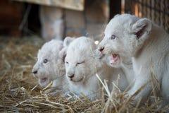 Biali lwów lisiątka urodzeni przy zoo Obrazy Stock