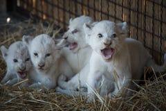Biali lwów lisiątka urodzeni przy zoo Zdjęcie Royalty Free