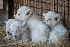 Biali lwów lisiątka urodzeni przy zoo Obraz Stock