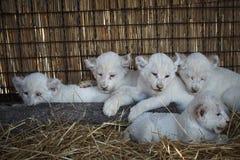 Biali lwów lisiątka urodzeni przy zoo Zdjęcia Stock